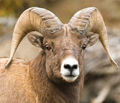 Environmental law Bighorn sheep Advocates for the West
