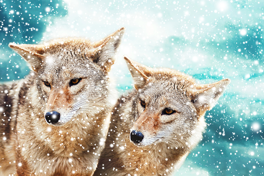 coyotes in winter - sm
