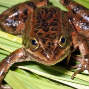 Oregon Spotted Frog Habitat Protection