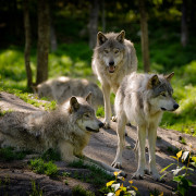 Wildlife Services Wolf-Killing in Idaho