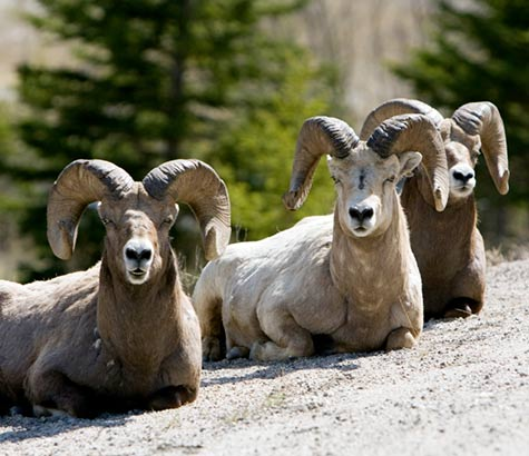 Protecting Bighorn Sheep in the Okanogan-Wenatchee National Forest