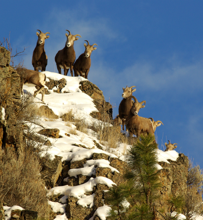 Bighorn Sheep — Hells Canyon and Salmon River