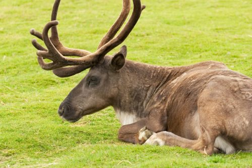 Selkirk Woodland Caribou