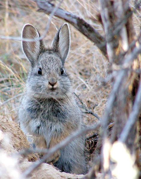 Pygmy rabbit listing