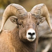 South Beaverhead Bighorn Sheep