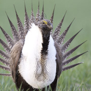 Oil & Gas Leases in Sage-Grouse Habitat