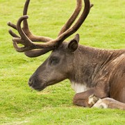 Caribou Habitat Protection Followup Case