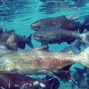 Camas Creek Fisheries