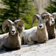Wishbone Bighorn Herd Protection