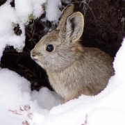 Pygmy Rabbit Not Warranted for ESA Listing