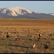 Kemmerer sheep grazing