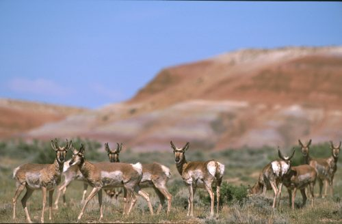 Gas Drilling in Pronghorn Migration Path